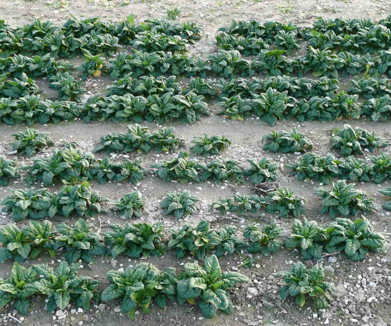 Spinach_field